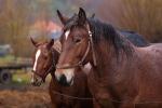Konie z Huzara