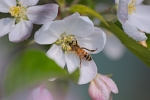 Na jabłoni w moim ogródku.
